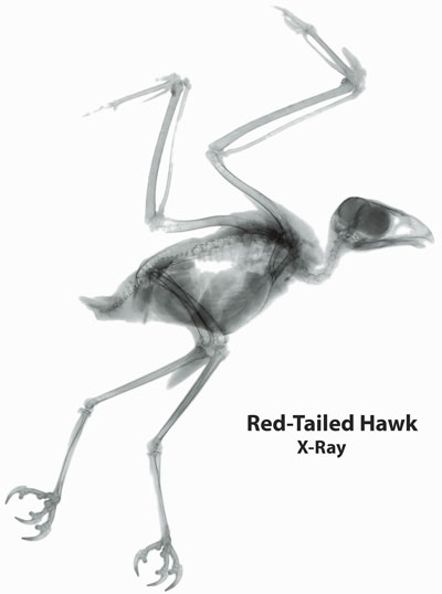 X-ray of Red-Tailed Hawk