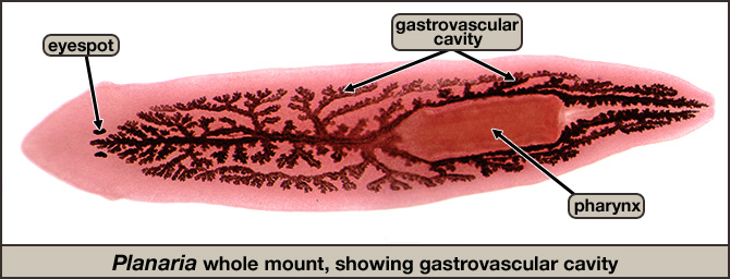 Planaria whole mount, showing gastrovascular cavity, pharynx, and eyespots