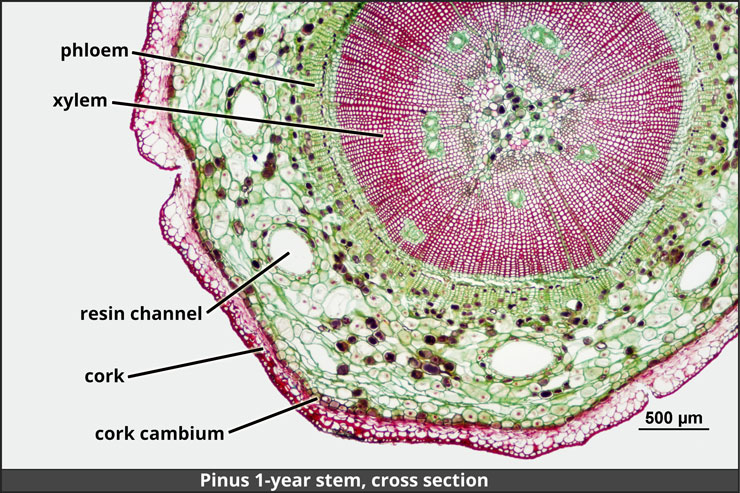 Cross section of 1-year pine tree stem, with labeled tissues.