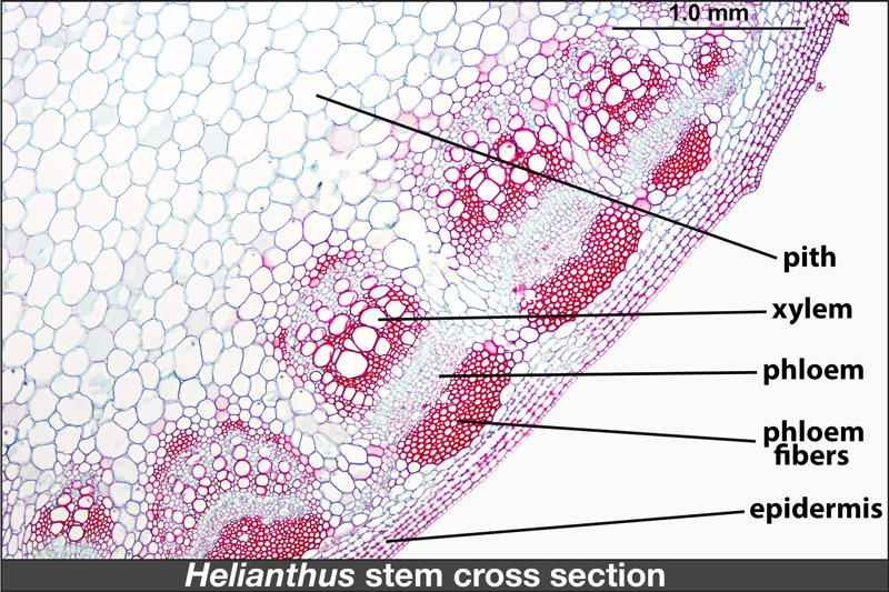 Cross section of Helianthus stem with tissues labeled