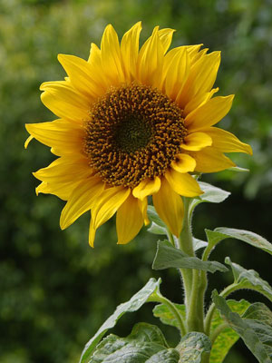 Photo of Helianthus, a common sunflower