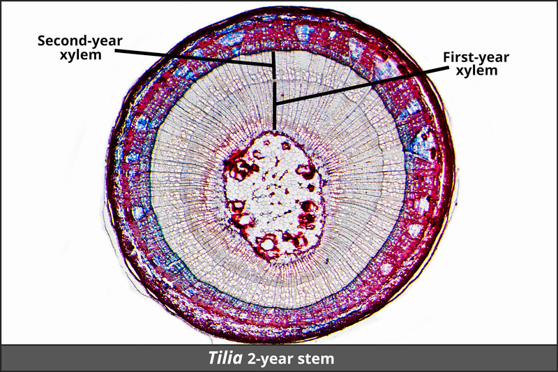 Tilia stem: complete cross-section of a 2-year-old stem.