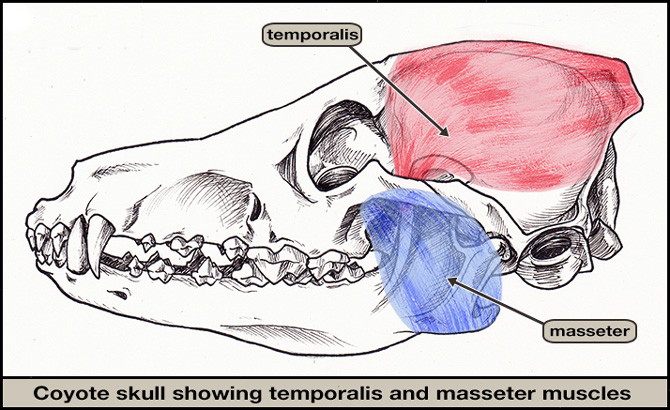 Temporalis & masseter of coyote (jaw closed)