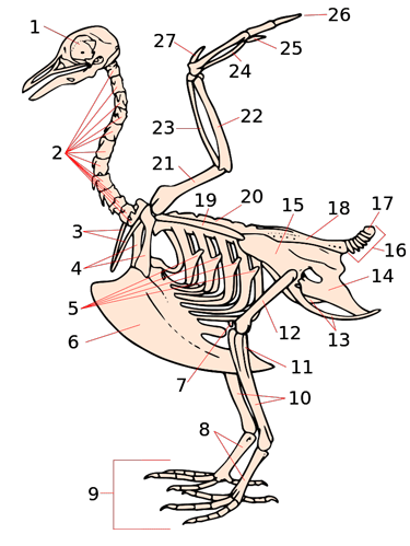 Bird skeleton, labeled
