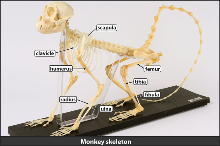 Monkey skeleton with limb bones labeled.