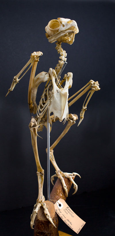 owl skeleton 400