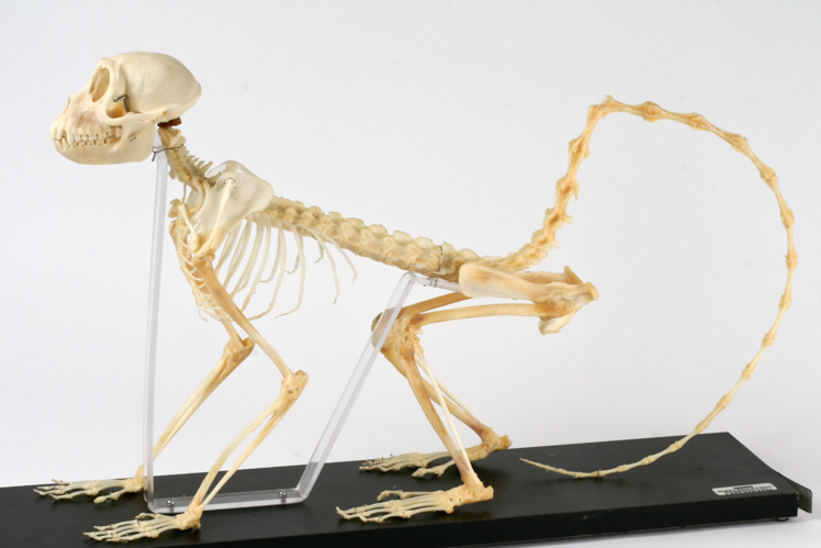 Monkey skeleton, showing plantigrade posture