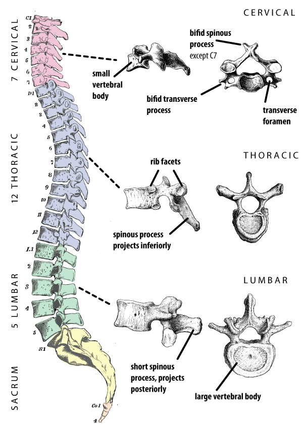 Regions of the vertebral column.