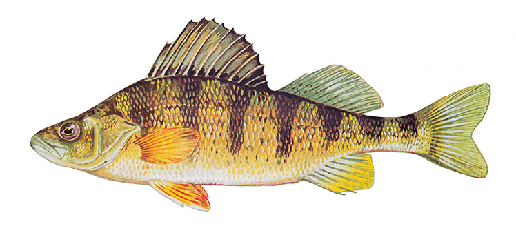 Yellow perch, Perca flavescens