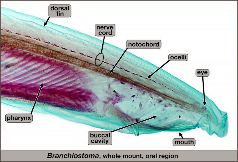 Branchiostoma, whole mount. Enlarged view of oral region.