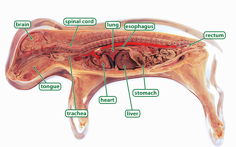 Fetal pig, sagittal section