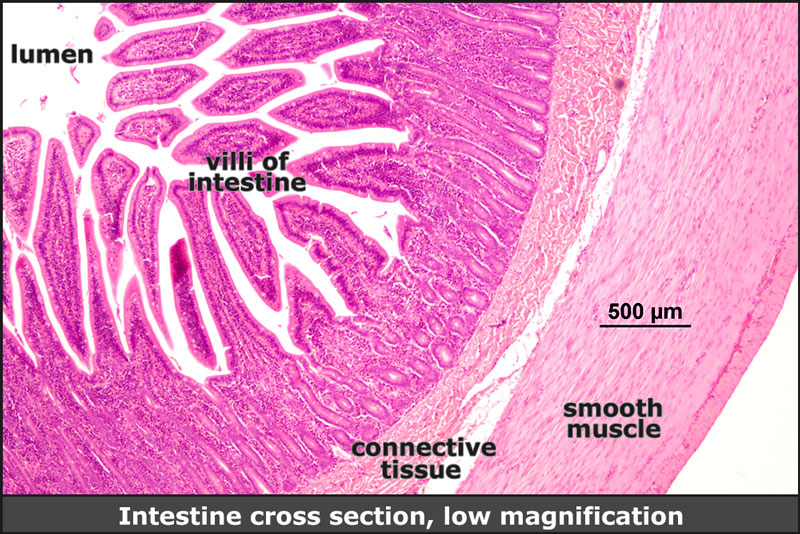 Intestine cross section, low mag.