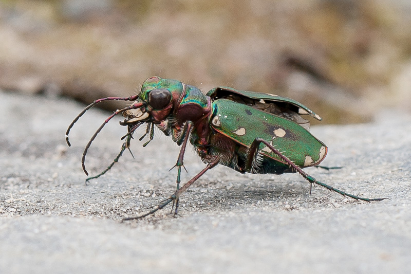 Tiger beetle, Scotland