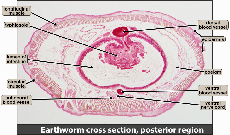 Earthworm cross section, posterior region