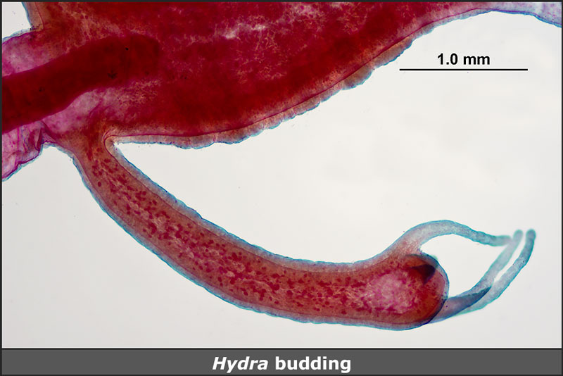 Hydra with bud