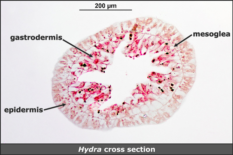 Hydra, cross section