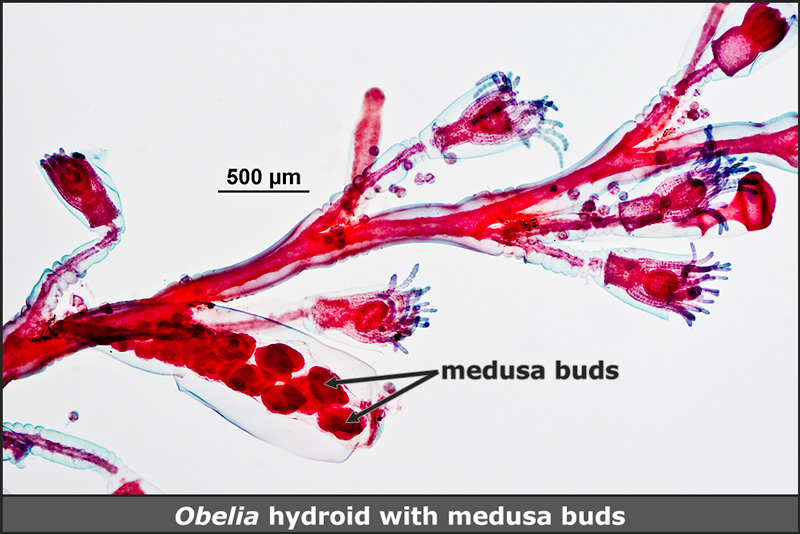 Obelia hydroid with medusa buds