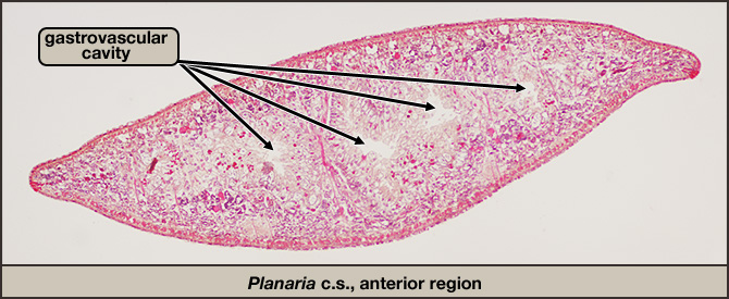 Planaria, cross section through posterior region