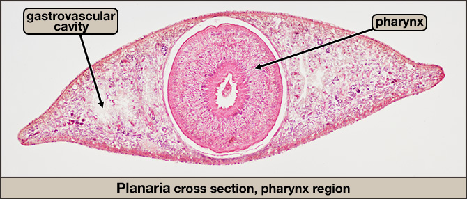 Planaria cross section, pharynx region