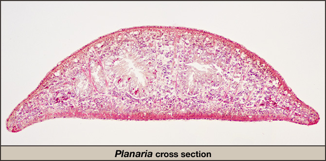 Planaria cross section