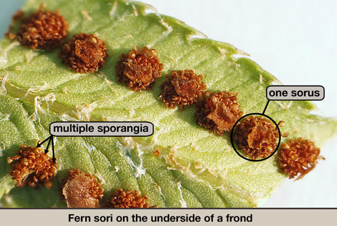 Fern sori on the underside of a frond