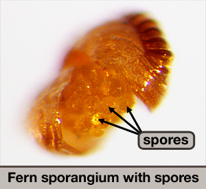 Fern sporangium with spores.