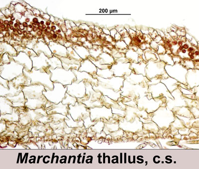 Cross section of the thallus of the liverwort Marchantia