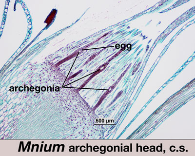 Cross section of archegonial head of Mnium, showing egg formation