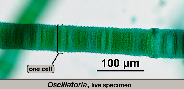 Oscillatoria, live cells.