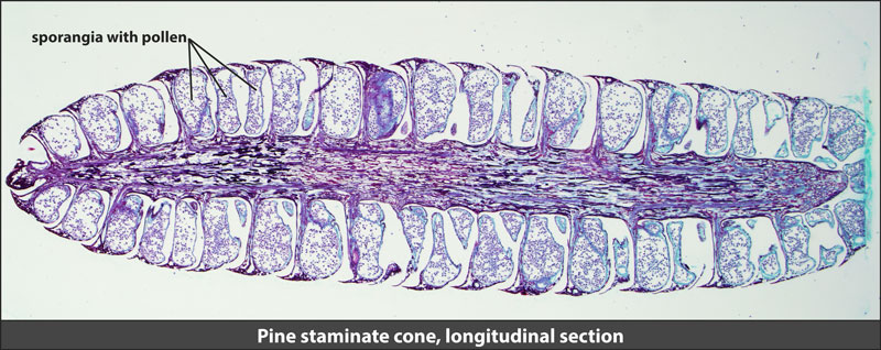 Pine staminate cone, longitudinal section