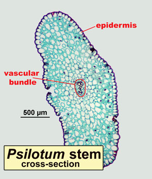 Cross-section of a stem of Psilotum, showing epidermis and vascular bundle