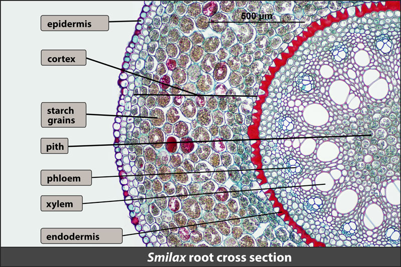 Smilax root, cross section