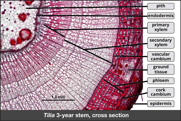 Cross section of Tilia 3-year stem, showing lateral meristems and secondary growth.
