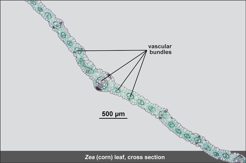 Zea (corn) leaf cross section with vascular bundles
